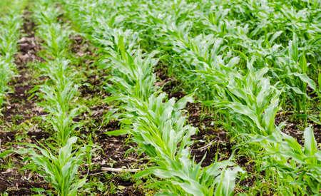 Corn field with fresh new small green plants during spring on fertile land suggesting organic healthy agriculture Stock Photo