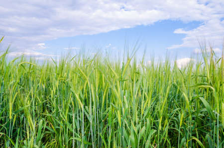 suggesting: Close view of a grain wheat field with a fresh green look and a blue cloudy sky suggesting organic cereals Stock Photo