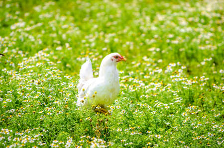 White chicken walking through a chamomile field in a rural area with a fresh bright sunny calm peaceful look suggesting organic plants and domestic bird with a colorful look Stock Photo