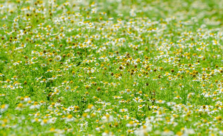 Chamomile field close view with a lot of white soft delicate flowers blooming in the fresh green grass on a sunny summer day suggesting tea plantation