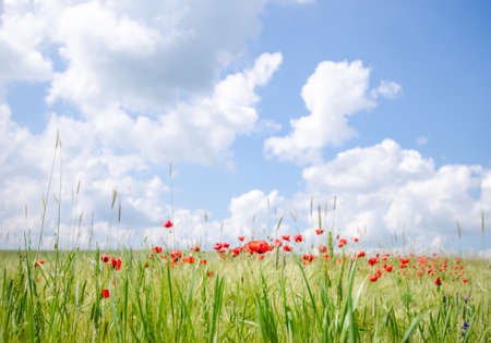 Poppy flowers on a agricultural field with a fresh vibrant look and a beautiful sunny cloudy blue sky on the background suggesting a beautiful landscape