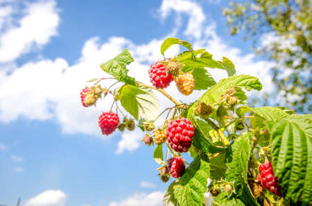 Ripe raspberries on a branch with green leafs on a sunny autumn day with a bright blue sky Stock Photo