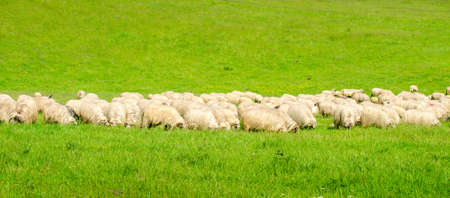 Sheep herd grazing on a fresh green meadow in a rural area with a natural look in a wide banner style picture