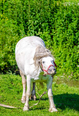 White horse shaking his head with a terrific smile on a green fresh pasture with a stream on the background
