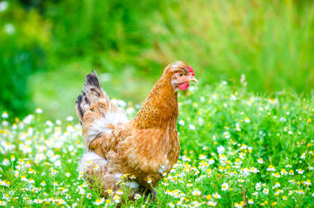 Cute brown chicken with funny comb walking in a chamomile and grass field in a rural garden with a fresh natural look