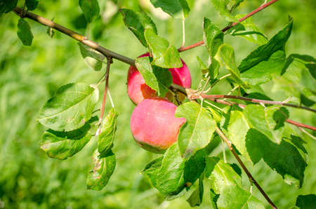 Two fresh ripe red sweet apples on a branch with green leafs suggesting organic fruit grown in a rural area