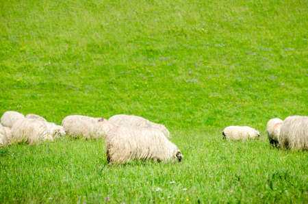 Sheep grazing fresh green grass on a meadow on a sunny summer day with soft wool