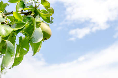 Pear hganging on a branch with a blue cloudy sky