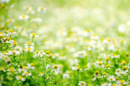 luz natural: Chamomile flowers in a close view with a beautiful blurred out background on a sunny summer day sigesting organic natyral grown healthy tea plants