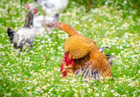 Rooster and hen mating in the rural garden with fresh green grass and flowers all around and a moving motion look with the rooster on top