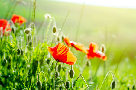 Poppy flowers in a close view on a green field with bright warm sunlight on a beautiful calm peaceful day