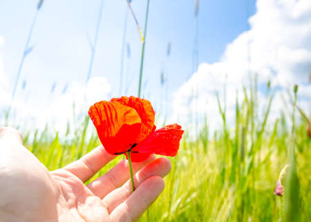 Man hand holding a delicate sensitive beautiful red poppey flower on a fresh green wheat field on a sunny summer day suggesting calm and peace