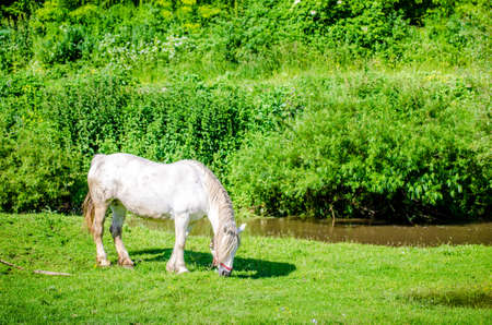 White horse grazing on a fresh green pasture with a beautiful stream on the background and a natural fresh green vegetation in a rural area