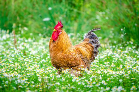 Brown organic rooster looking at me in the  garden with fresh ggreen grass and flowers and an organic home grown look