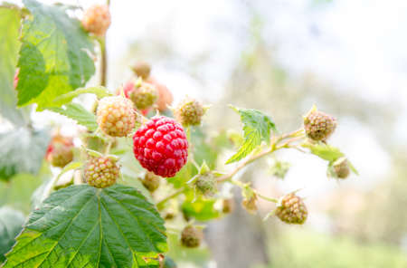Ripe raspberry and manu unripe raspberries on a green berry bush on a warm sunny day siggesting organic fruit Stock Photo