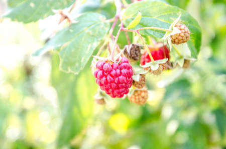 Ripe raspberry and many unripe raspberries on a green berry bush on a warm sunny day suggesting organic fruit Stock Photo