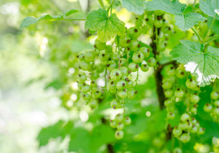 Currants on a branch during spring Standard-Bild