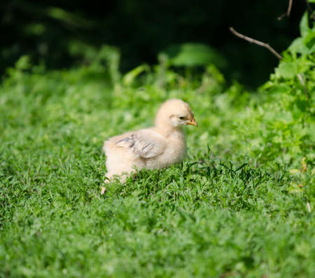 Baby chick walking in the grass