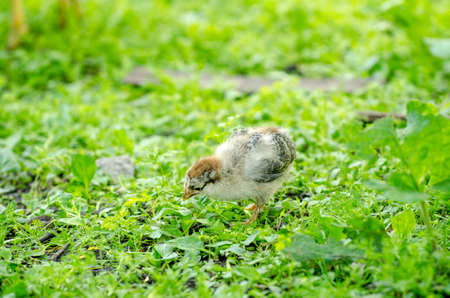Gray white cute little young baby chick walking in the yard on fresh green grass o a sunny spring day
