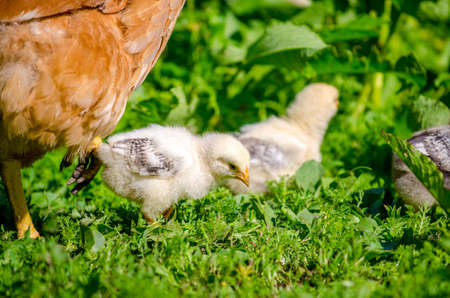 Small cute baby chicks pecking in the garden with the mother hen next to them on a sunny day with fresh green grass in a close view Stock Photo
