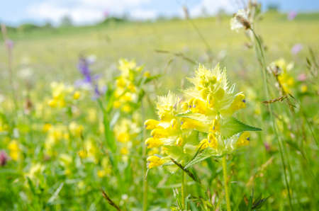 Yellow Rattle (Rhinanthus minor) wild flower on a sunny summer day on a beautiful fresh green pasture