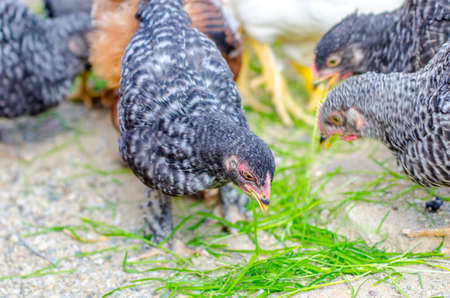 Black and white or gray chicks pecking grass in a rural farm on a sunny day suggesting natural grown poultry Stock Photo