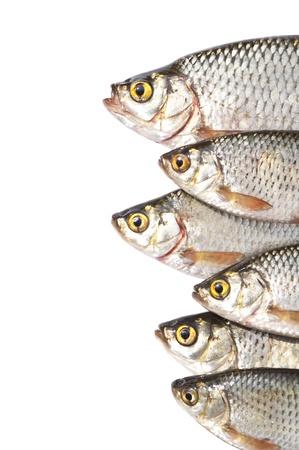 truchas: Los peces aislados en fondo blanco