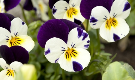 Pansy tricolored flower ( Heartsease or Johnny Jump Ups) photo