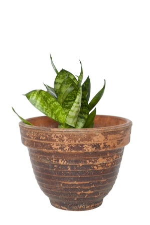 Green plant in a pot isolated on white  photo