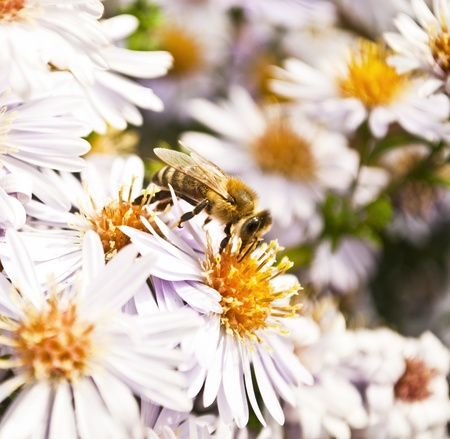 calceolaria: Bee on flower