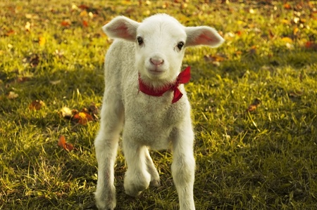 naivety: Curious lamb looking at the camera in spring