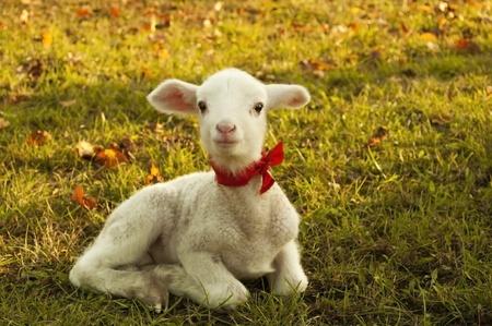 Cute little lamb on fresh green meadow  photo