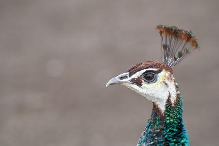 Beautiful peacock portrait  photo