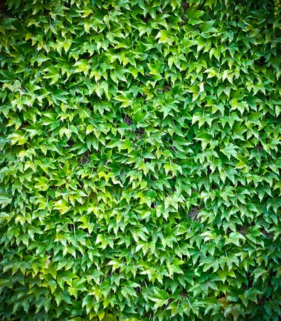 Green ivy wall background