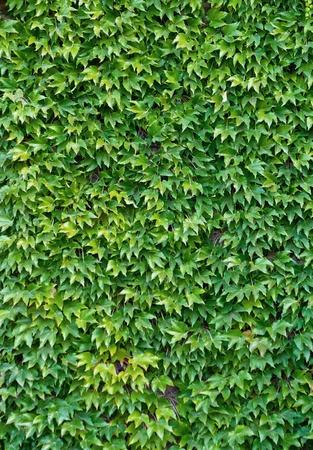 wall ivy: Green hiedra pared de fondo