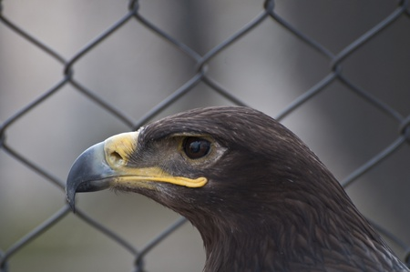 Eagle portrait photo