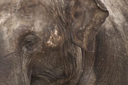 Elephant close up  photo
