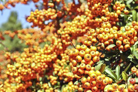 bunchy: Rowan planta