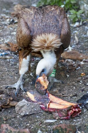 Vulture eating meat photo