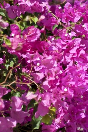bougainvillea flowers: Bougainvillea flowers background Stock Photo