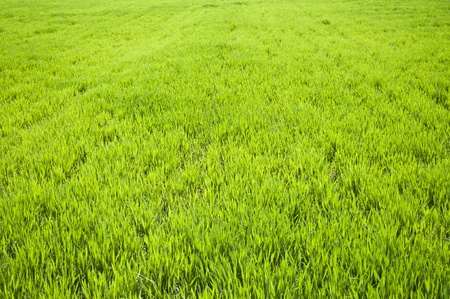Field of green wheat grass  photo