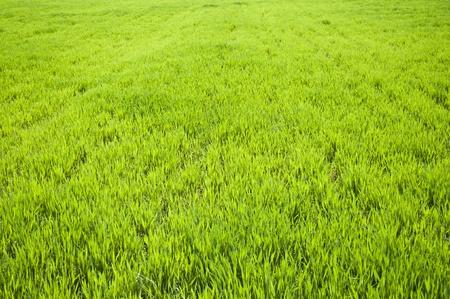 Field of green wheat grass  photo
