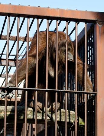 Orangutan in cage Stock Photo - 12990116