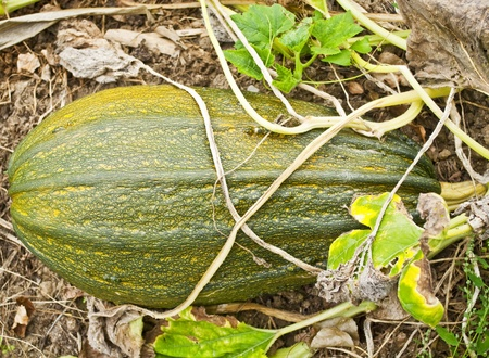 Green pumpkin in garden  photo