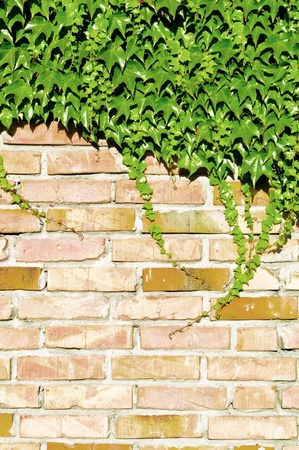 Ivy and brick wall  photo