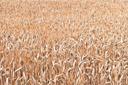 Golden wheat field background Stock Photo - 12990012
