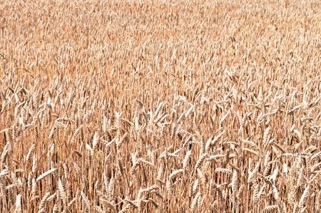 gramineous: Golden wheat field background Stock Photo