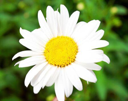 daisy flower: Beautiful daisy flower macro shot Stock Photo