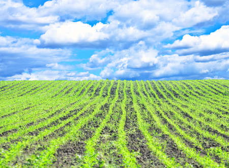 Agricultural field with blue sky Stock Photo - 13540395