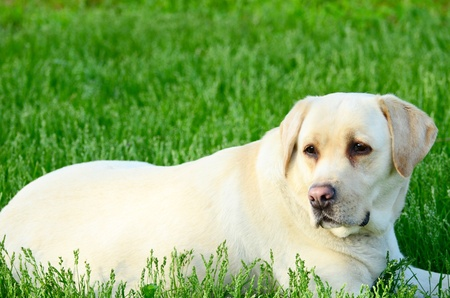 Portrait of beautiful labrador retriever photo